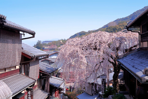 京都 産寧坂の桜の写真素材 [FYI01742076]