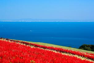 あわじ花さじき サルビアと海の写真素材 [FYI01742189]