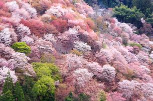 奈良県 吉野山の桜の写真素材 [FYI01742229]