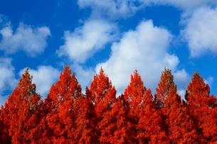 滋賀県 紅葉のメタセコイア並木の写真素材 [FYI01742344]