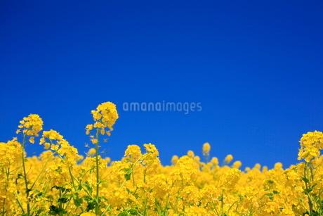 あわじ花さじき 菜の花畑の写真素材 [FYI01742351]