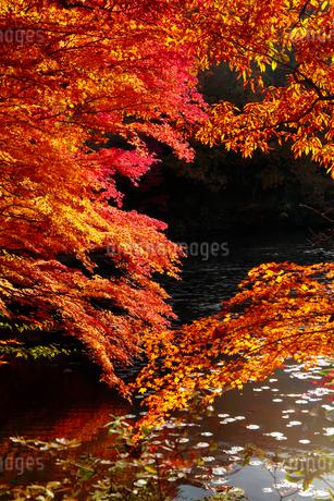 神戸市立森林植物園の紅葉の写真素材 [FYI01742364]