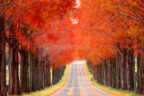 滋賀県 紅葉のメタセコイア並木の写真素材 [FYI01742375]