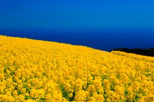 あわじ花さじき 菜の花畑の写真素材 [FYI01742438]