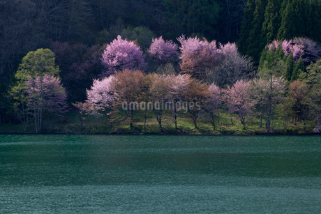 オオヤマザクラ咲く中綱湖の写真素材 [FYI01742918]