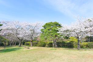 日和山公園の桜の写真素材 [FYI01743433]