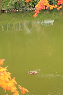 京都 嵐山 紅葉した小倉池と鴨の写真素材 [FYI01743954]