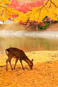 紅葉の奈良公園とシカの写真素材 [FYI01744195]