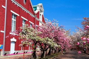 大阪造幣局の桜の写真素材 [FYI01744223]