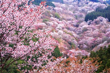 奈良県 吉野山の桜の写真素材 [FYI01744231]
