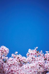 桜と青空の写真素材 [FYI01744266]