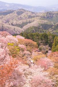 吉野山の桜の写真素材 [FYI01744276]