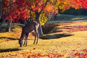 紅葉した奈良公園と鹿の写真素材 [FYI01744405]
