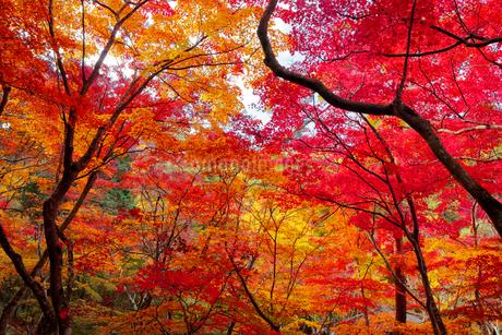 瑞宝寺公園の紅葉の写真素材 [FYI01744415]