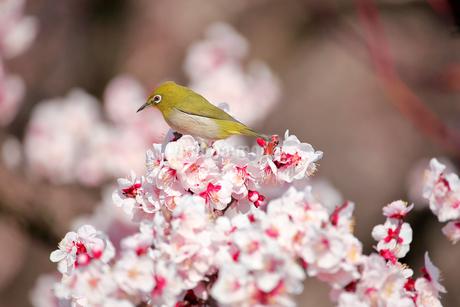メジロと梅の花の写真素材 [FYI01744432]