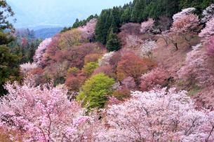 奈良県 吉野山の桜の写真素材 [FYI01744596]