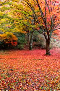 奈良県 鳥見山公園の紅葉の写真素材 [FYI01744607]