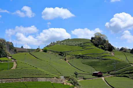 京都 和束町 宇治茶の茶畑の写真素材 [FYI01744625]