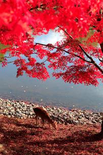 奈良公園の紅葉とシカの写真素材 [FYI01744646]