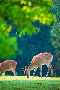 新緑の奈良公園 飛火野の写真素材 [FYI01744656]