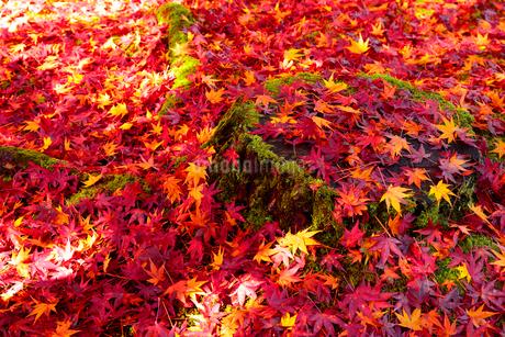 京都 紅葉したモミジと落ち葉 の写真素材 [FYI01744665]