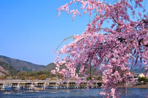 京都 嵐山 渡月橋と桜の写真素材 [FYI01744757]