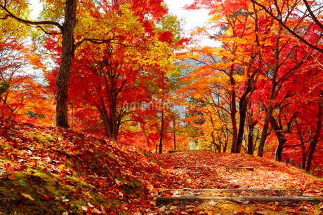 兵庫県 最上山公園もみじやまの紅葉の写真素材 [FYI01744797]