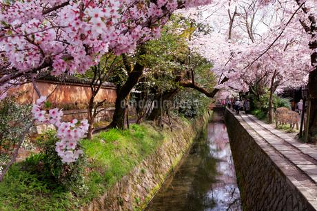 哲学の道の桜の写真素材 [FYI01744885]