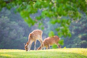 新緑の奈良公園 飛火野の写真素材 [FYI01744984]