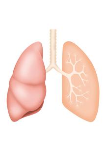 肺概略図 イラスト(リアル/簡略断面図)のイラスト素材 [FYI01745323]