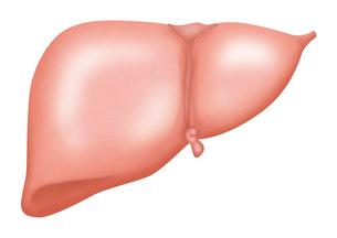 肝臓 イラスト(リアル)のイラスト素材 [FYI01745447]