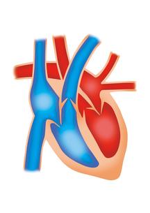 心臓断面図 イラスト(リアル)のイラスト素材 [FYI01745565]
