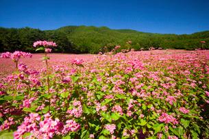 信州伊那高原みのわの赤そばの里の写真素材 [FYI01745836]