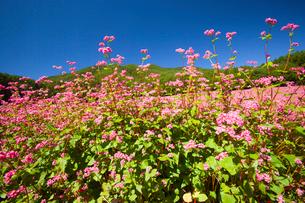 信州伊那高原みのわの赤そばの里の写真素材 [FYI01745880]