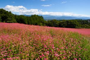 信州伊那高原みのわの赤そばの里の写真素材 [FYI01745895]