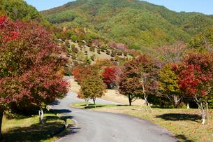 もみじ湖の箕輪ダムと紅葉の写真素材 [FYI01746002]