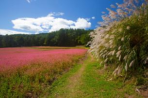 信州伊那高原みのわの赤そばの里とススキの写真素材 [FYI01746049]
