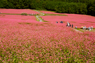 信州伊那高原みのわの赤そばの里の写真素材 [FYI01746064]