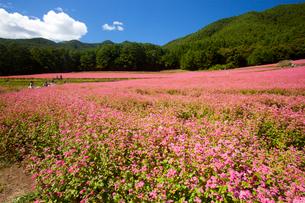信州伊那高原みのわの赤そばの里の写真素材 [FYI01746216]