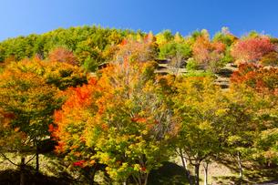 もみじ湖の箕輪ダムと紅葉の写真素材 [FYI01746301]