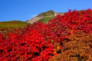 ナナカマドの紅葉と乗鞍岳の写真素材 [FYI01746310]