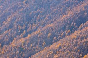 晩秋のカラマツ林の写真素材 [FYI01746674]