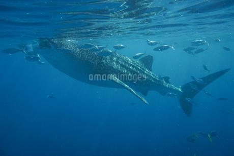 フィリピン,セブ島のジンベイザメの写真素材 [FYI01746748]