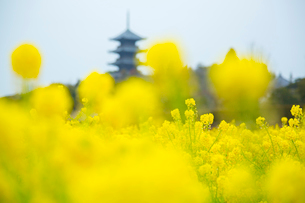 菜の花と備中国分寺五重塔の写真素材 [FYI01746907]