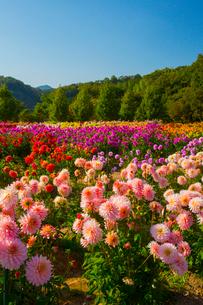世羅高原農場の花園の写真素材 [FYI01747101]