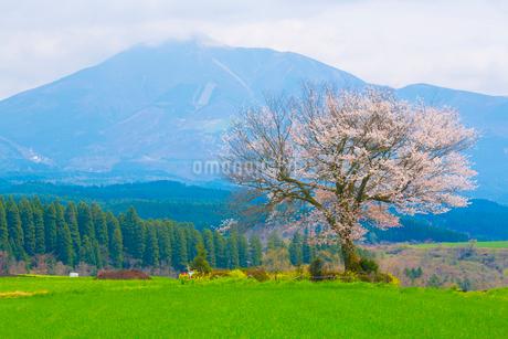 前原の一本桜と小国富士の写真素材 [FYI01747186]