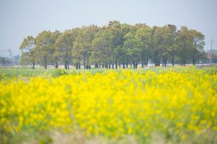 菜の花畑と並木の写真素材 [FYI01747536]