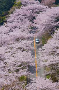野呂山の桜並木の写真素材 [FYI01747680]