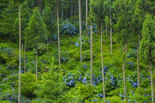 紫陽花の咲く風景の写真素材 [FYI01747714]