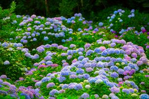 北浦の紫陽花寺の写真素材 [FYI01747982]
